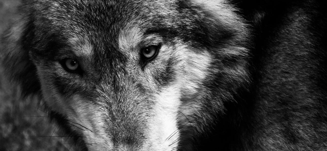 Canis Lupus — Omnivoraz
