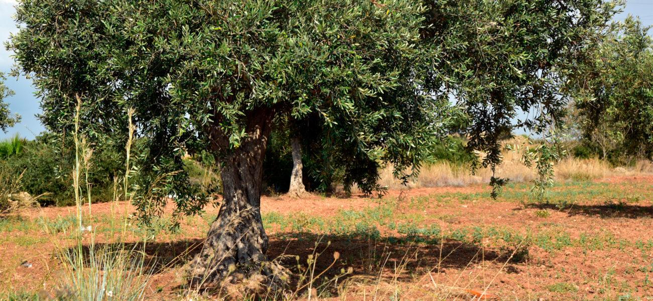 El caballo y el olivo — Omnivoraz