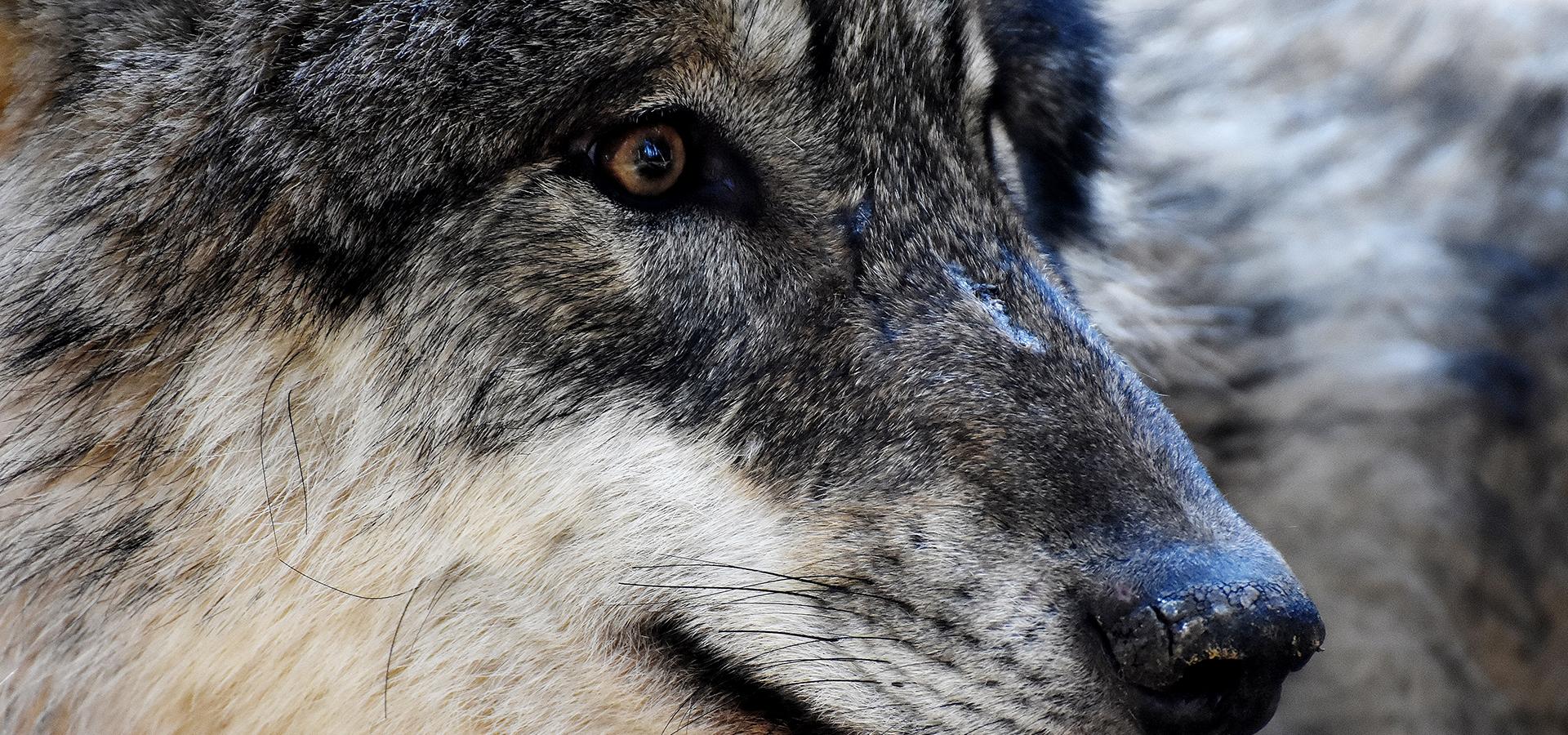 ¿Lobo sí o lobo no? — Omnivoraz