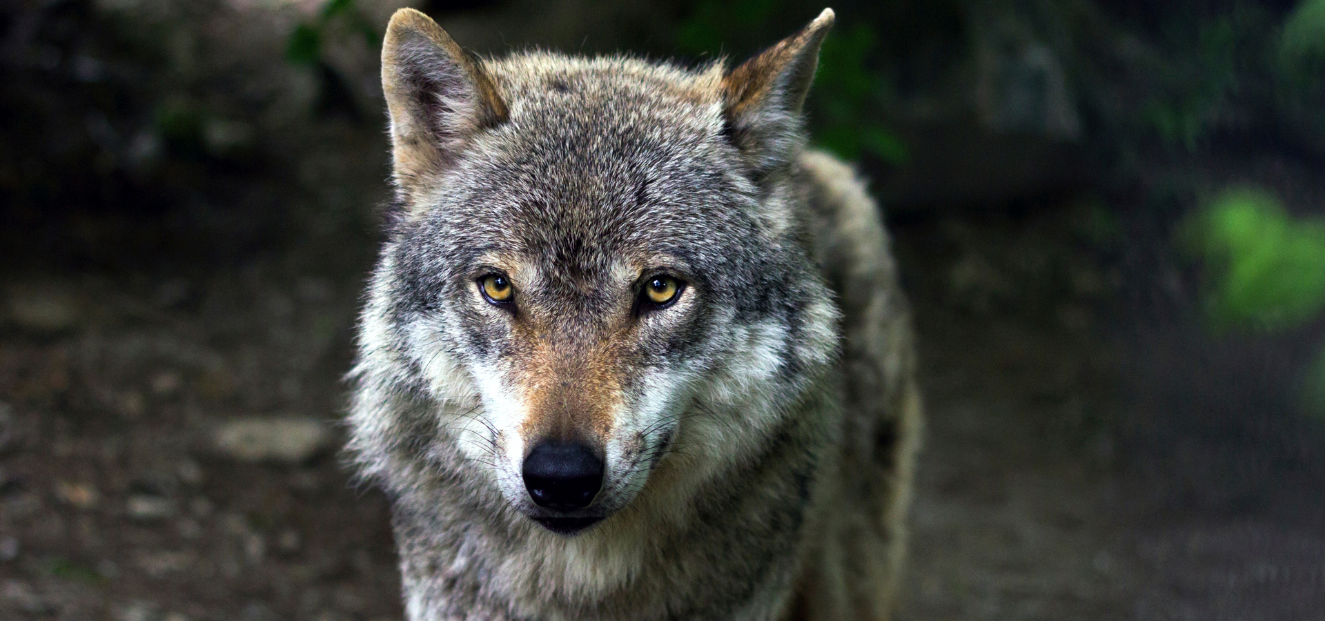 El lobo. Un conflicto con el que hay que convivir — Omnivoraz